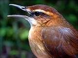 vogel murtein